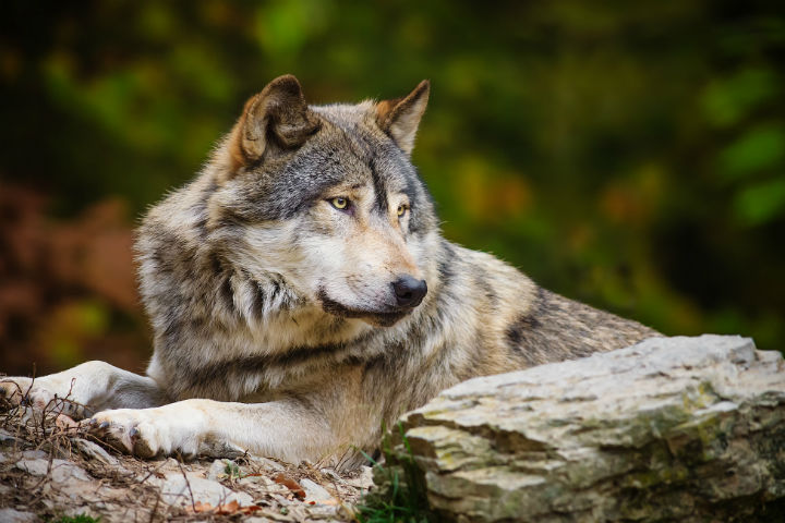 Волки (7).jpg