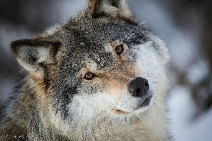 Волки (9).jpg