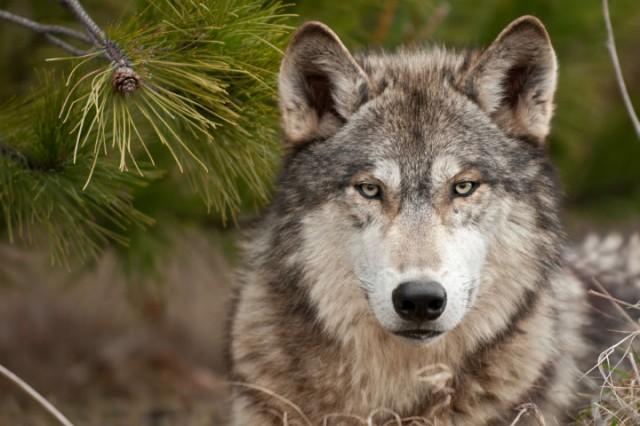 Волки (10).jpg
