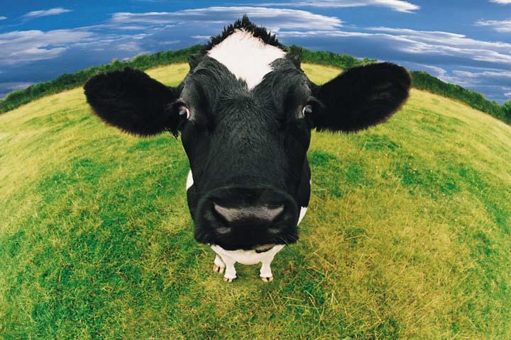 Чья бы корова мычала.jpg