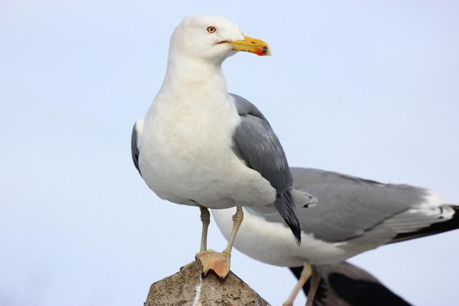 Чайка 1000х600-3