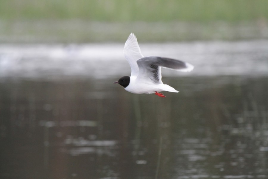 Чайка малая 1000х600