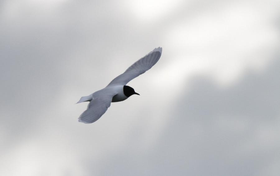Чайка малая 1000х600-1