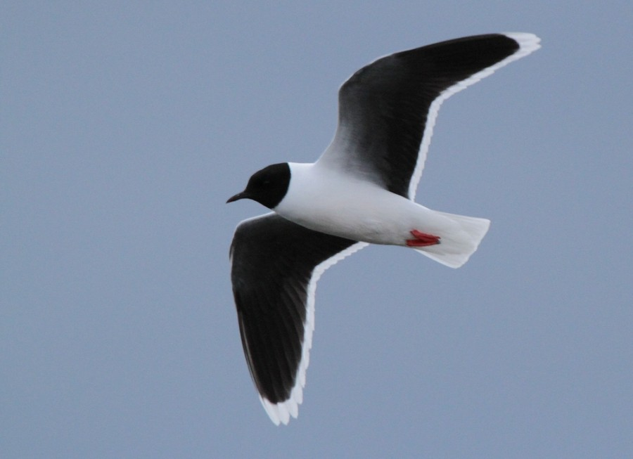 Чайка малая 1000х600-2