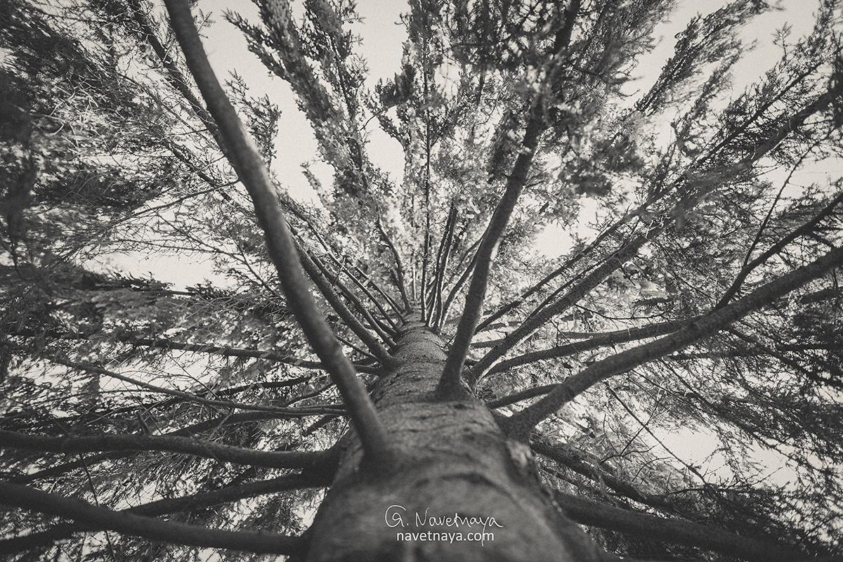 Фотограф Александра Наветная. Фотография дерева. Красивая ель. Черно-белая фотография. Вечность. Красиво. Картинка, которую можно повесить на рабочий стол или на стену