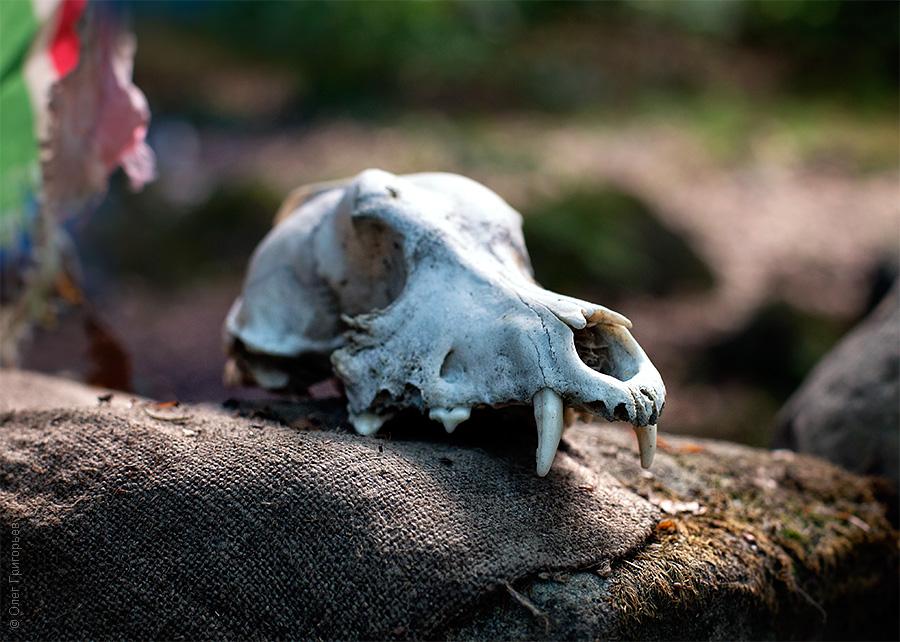 череп животного