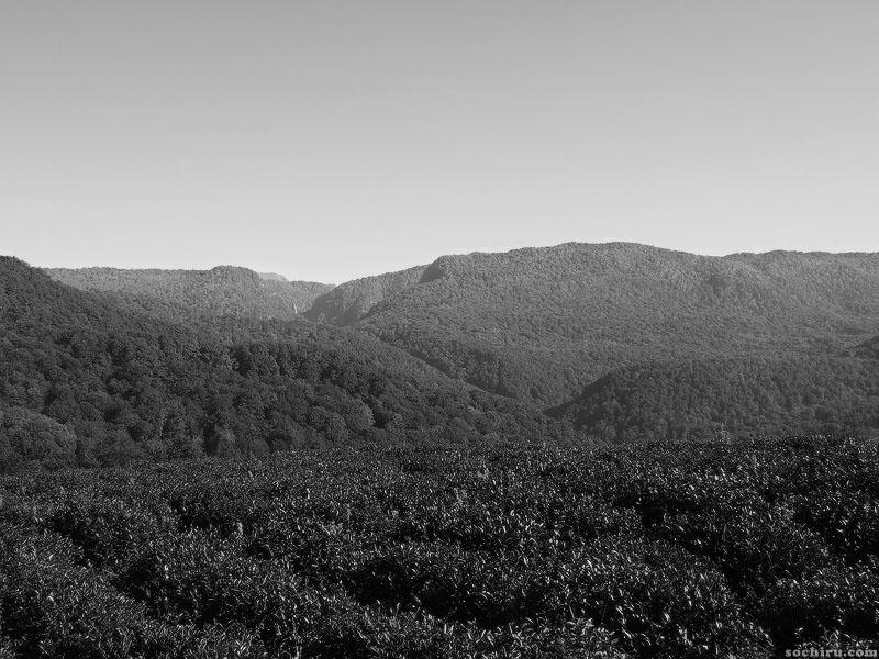 Отбор почвенных проб на чайной плантации