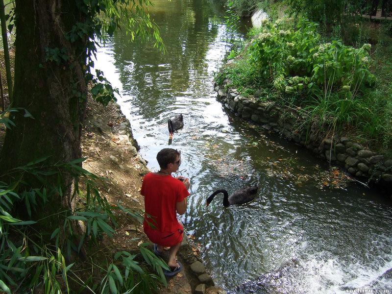 Мальчик, фотографирующий чёрных лебедей