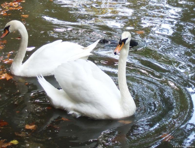 Белые лебеди в нижнем парке Дендрария