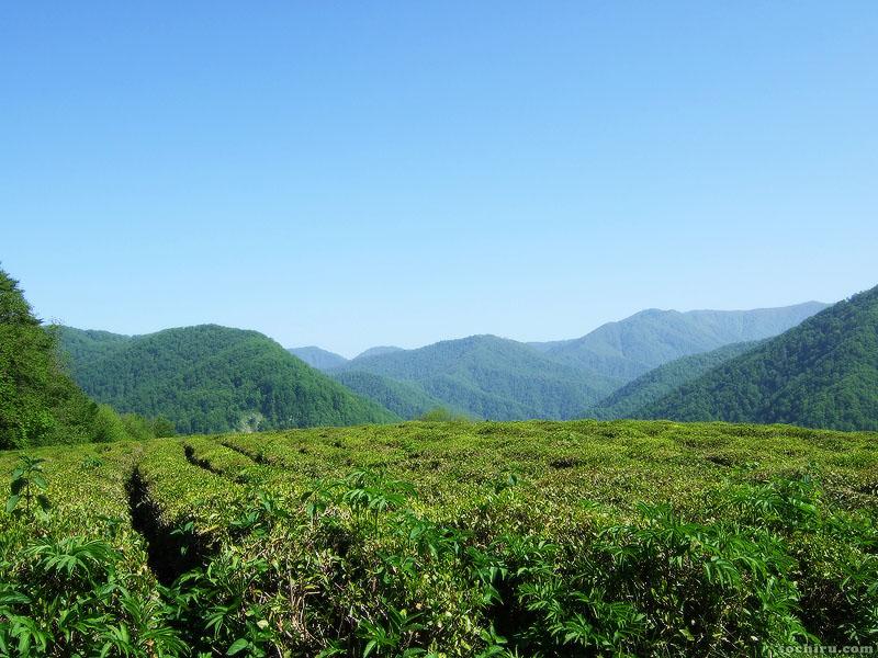 Чайные плантации и вид на горы