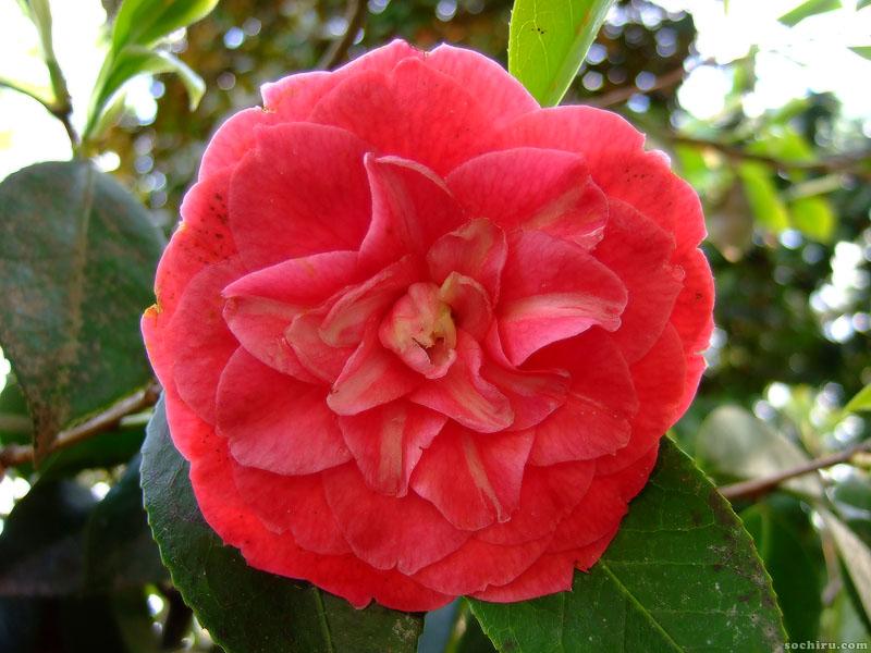 Красный цветок Камелии