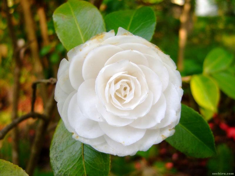 Белый цветок Камелии