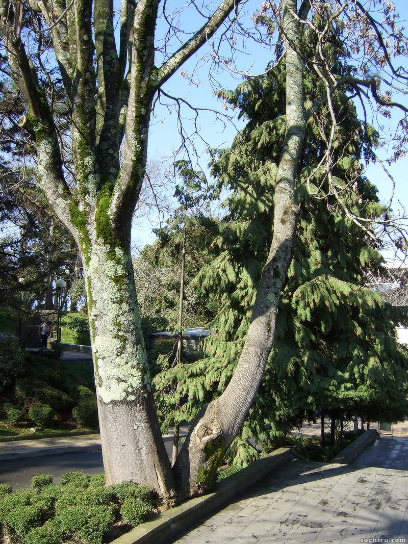 Дерево у Фестивального