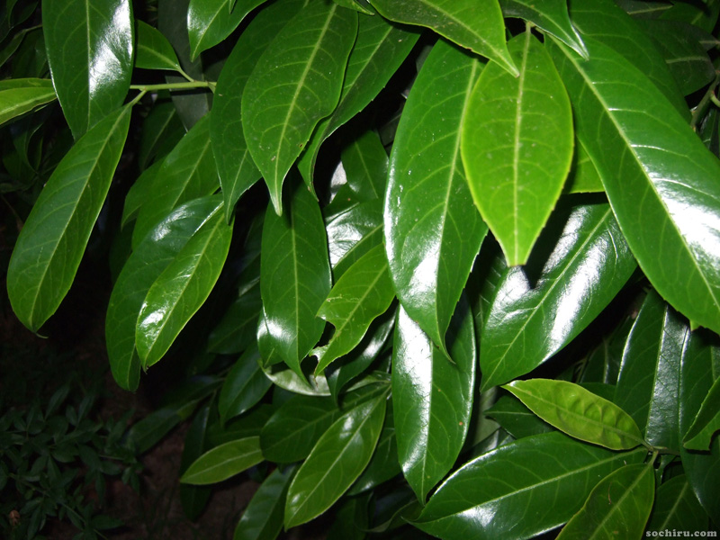 растения Сочи