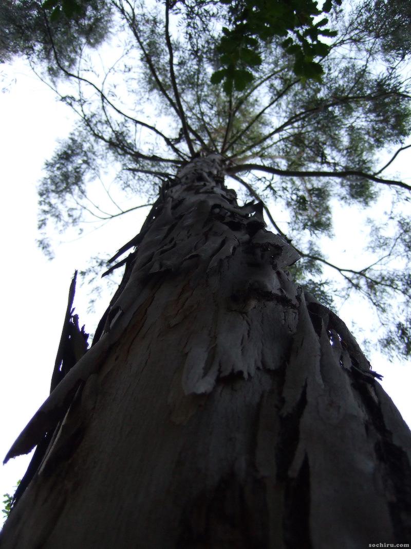 Эвкалипт в парке Ривьера