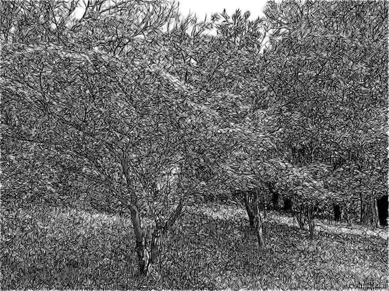 Клён дланевидный в Дендрарии
