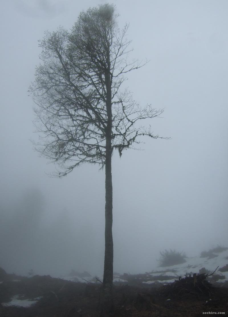 Необычное дерево на Пихтовой поляне