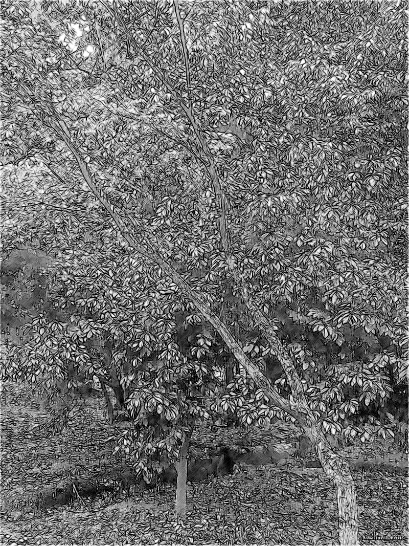 Японские дуб и клён