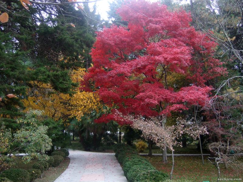 Яркие цвета Клёна дланевидного