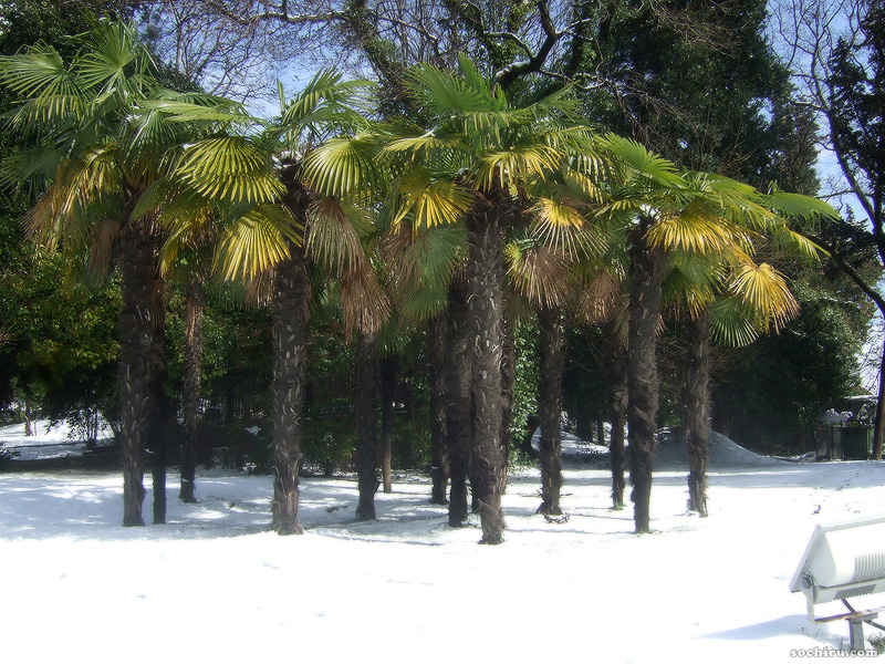 пальмы Трахикарпус под снегом