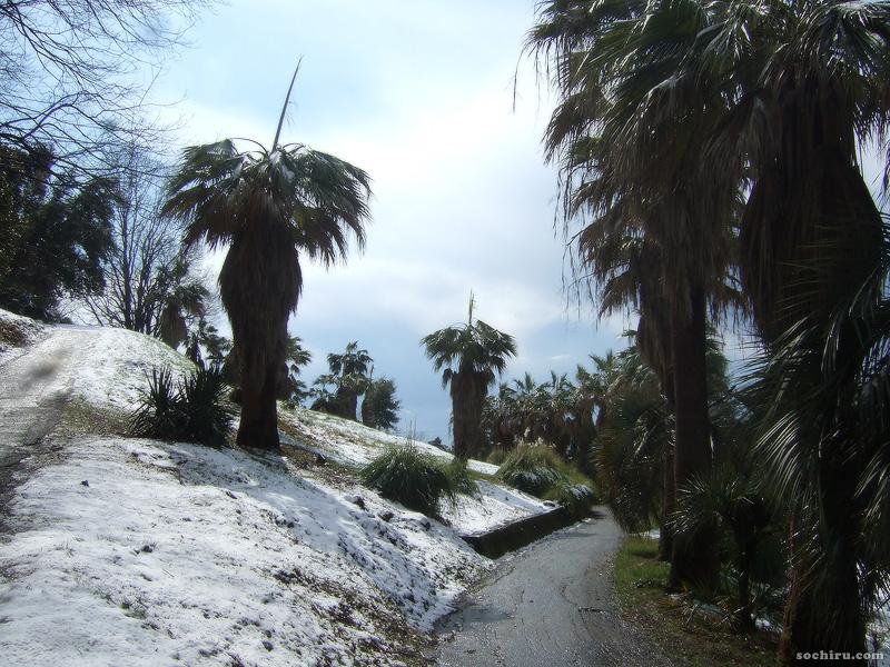Вашингтонии на снегу