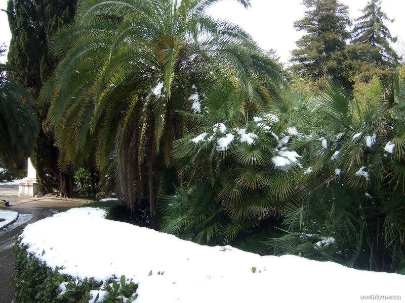 Канарский финик и Хамеропсы на снегу