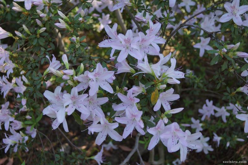 Цветущая азалия в парке Дендрарий