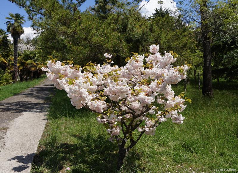 сакура в парке Дендрарий