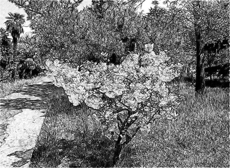 цветущая сакура в Дендрарии