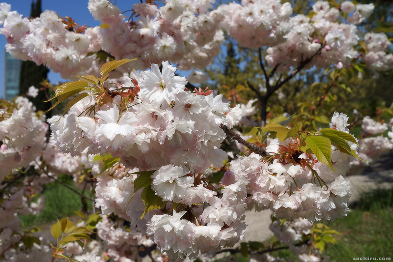 цветущая сакура в Сочи