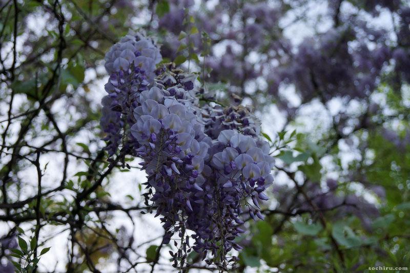 цветение глицинии