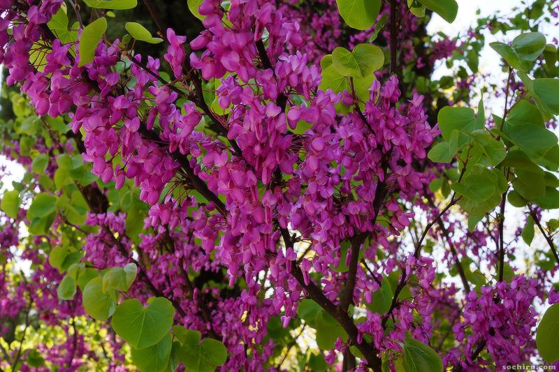 Цветы Багрянника китайского
