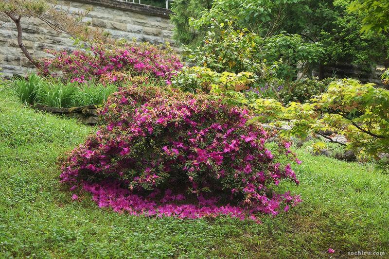 Опавшие цветы Азалии