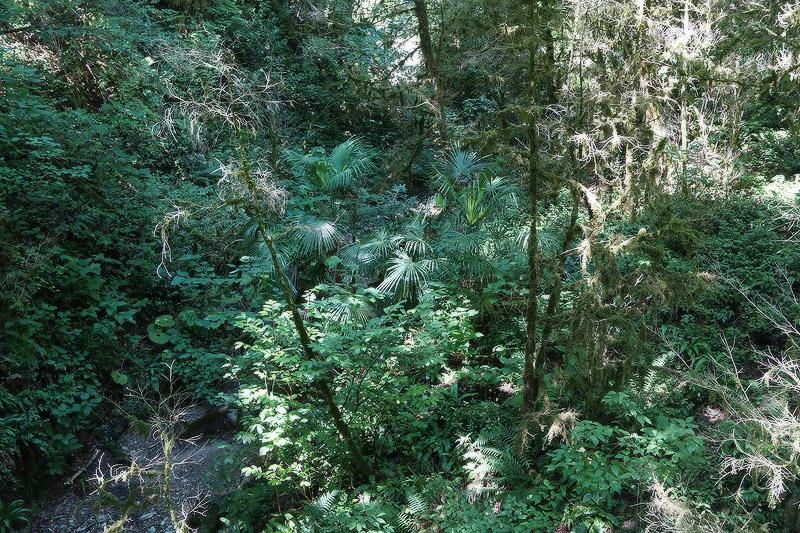 Натурализовавшиеся трахикарпусы в Тисо-самшитовой роще