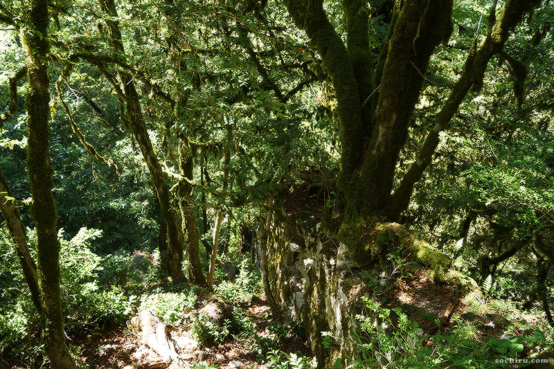 Тисо-самшитовая роща: дерево граба на стене крепости
