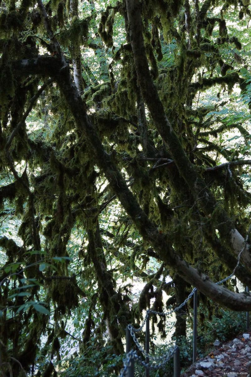 Удивительный самшитовый лес