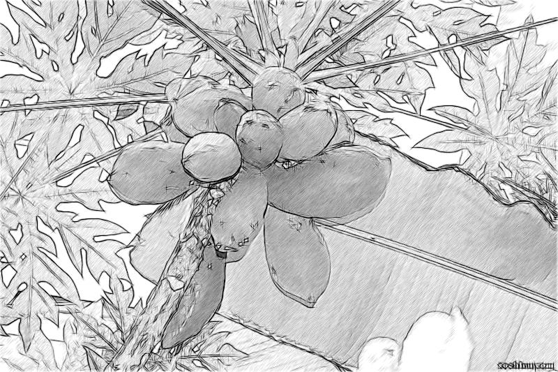 Папайя в парке Дендрарий