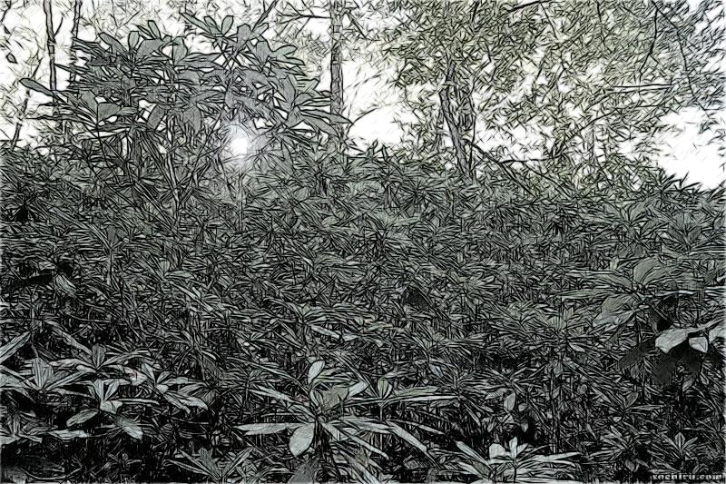 Рододендрон понтийский в верховьях Чвижепсе