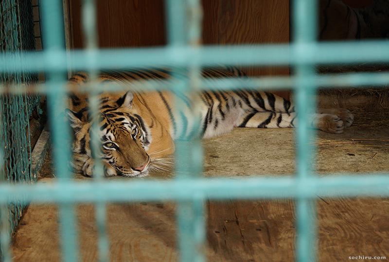 Санаторий Октябрьский: тигр