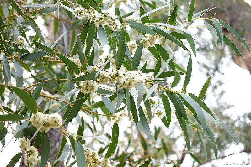 Цветущий эвкалипт в парке Дендрарий