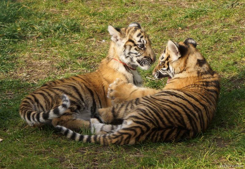 тигрята в зоопарке санатория Октябрьский