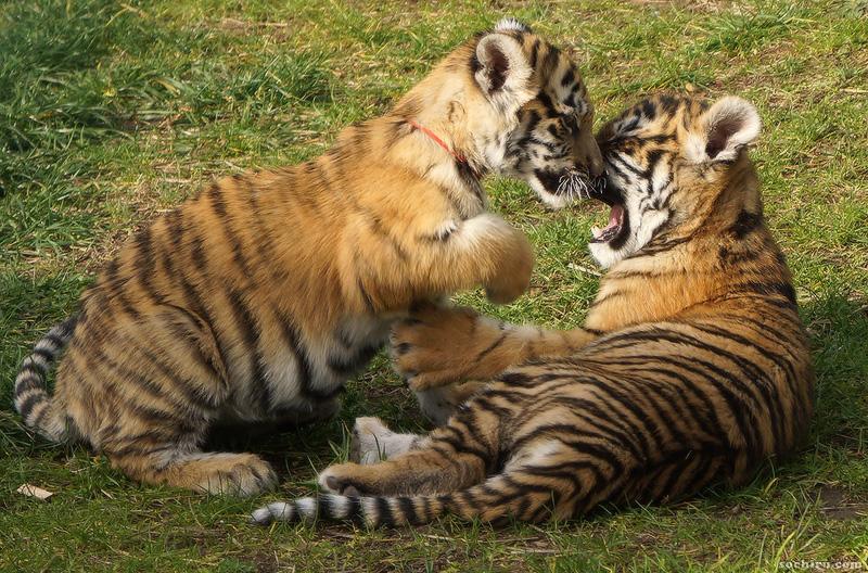 тигрята в санатории Октябрьский