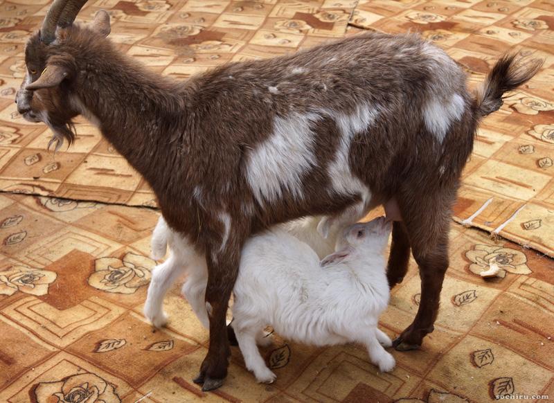 коза в зоопарке санатория Октябрьский