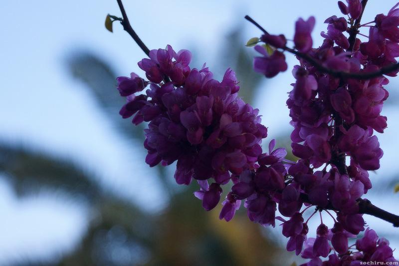 Цветущий церцис в санатории Юность