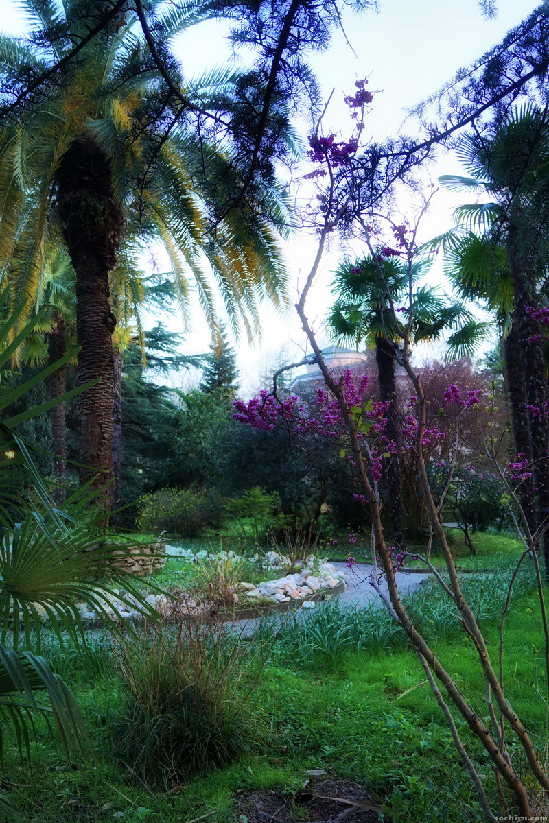 Цветущий багрянник в санатории Юность