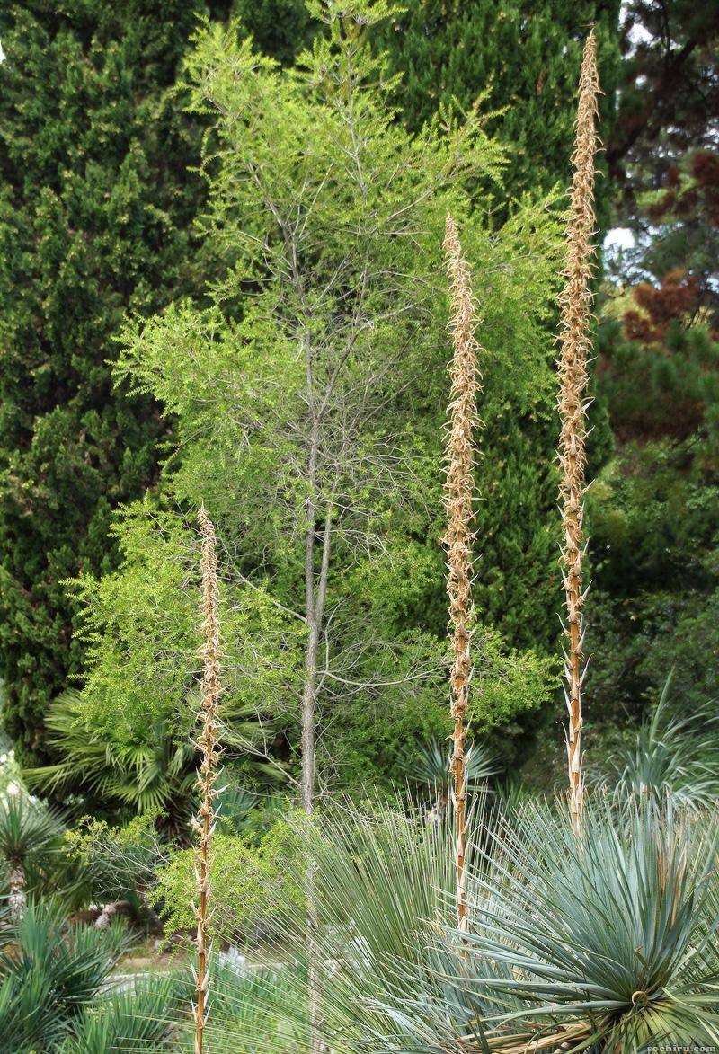 Юкки парка Дендрарий: цветущие юкки