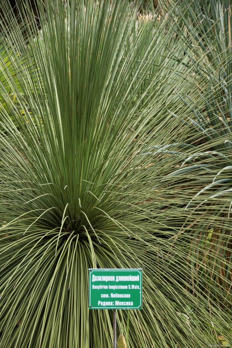 Юкки парка Дендрарий: Дазилирион длинейший