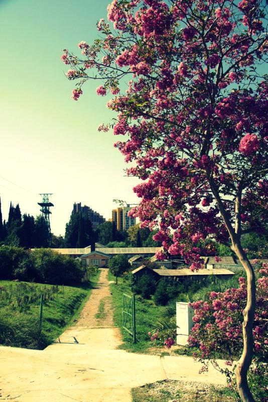 Цветущая Лагерстрёмия индийская в парке Дендрарий