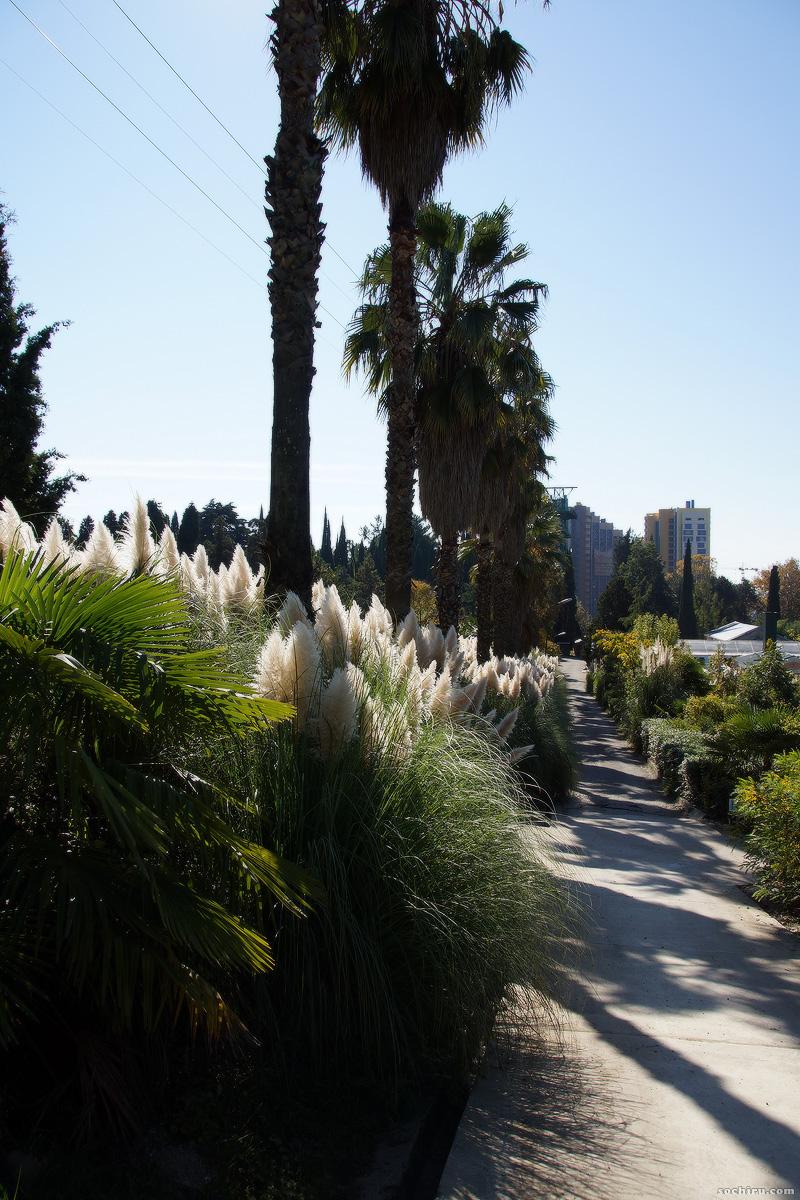Кортадерия Селло в парке Дендрарий