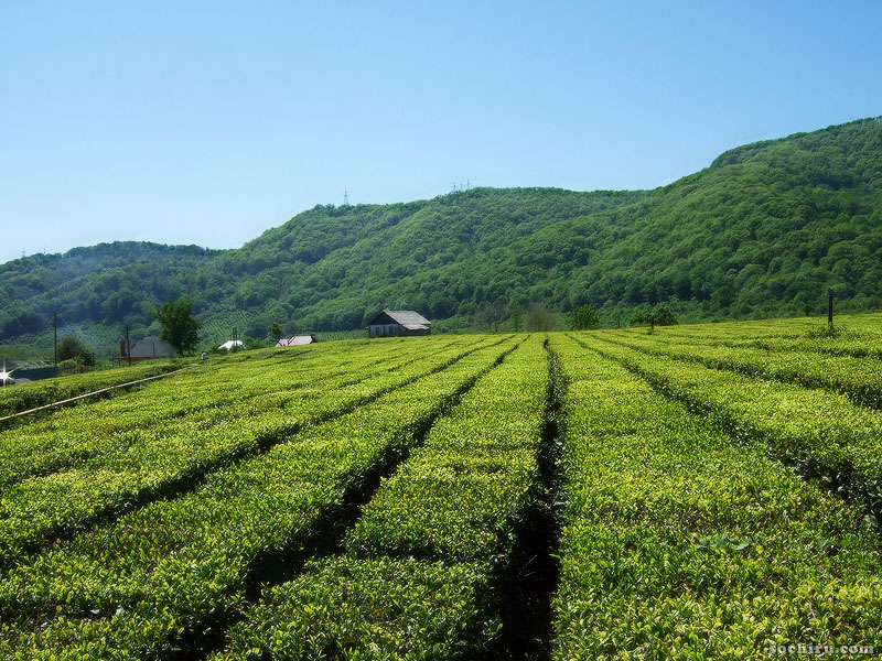 Чайные плантации Лазаревского района